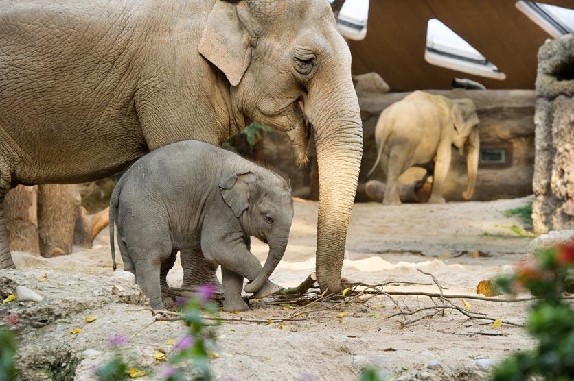 Betagte Elefantendame Druk mit Jungtier Omysha im Zoo Zürich.