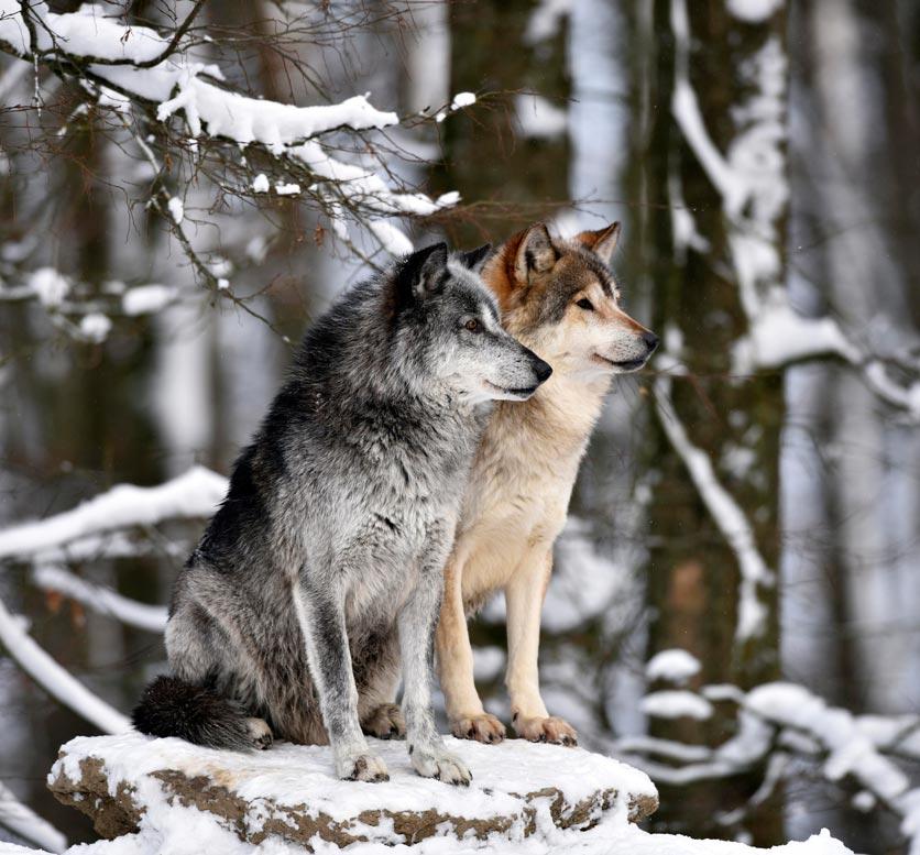 Maennlicher und weiblicher Leitwolf halten Ausschau im Schnee.