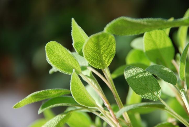Salbeipflanze