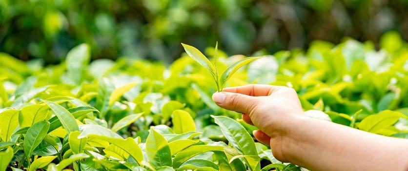 Teeplantage: eine Hand pflückt Tee
