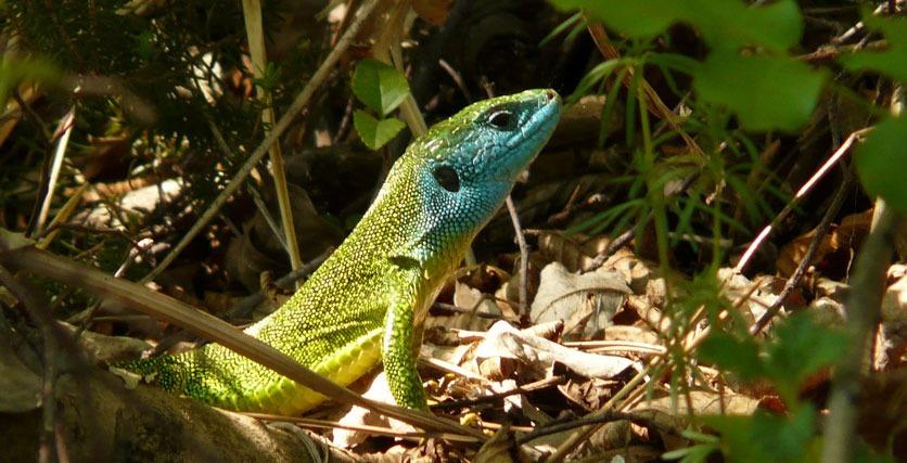 Eine Smaragdeidechse am Waldboden reckt ihren blau gefärbten Kopf nach oben.