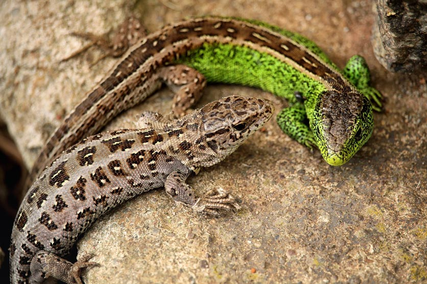 Männchen und Weibchen einer Zauneidechse