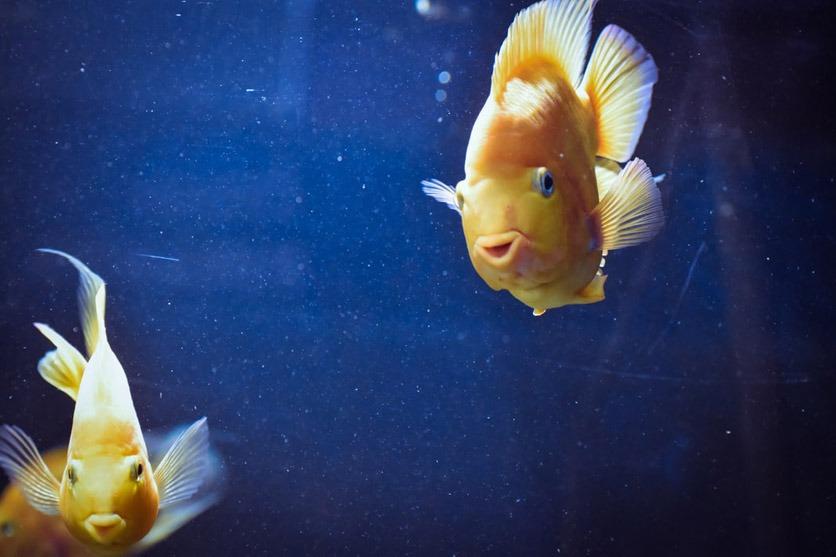 Zwei Goldfische schauen einen frontal an.
