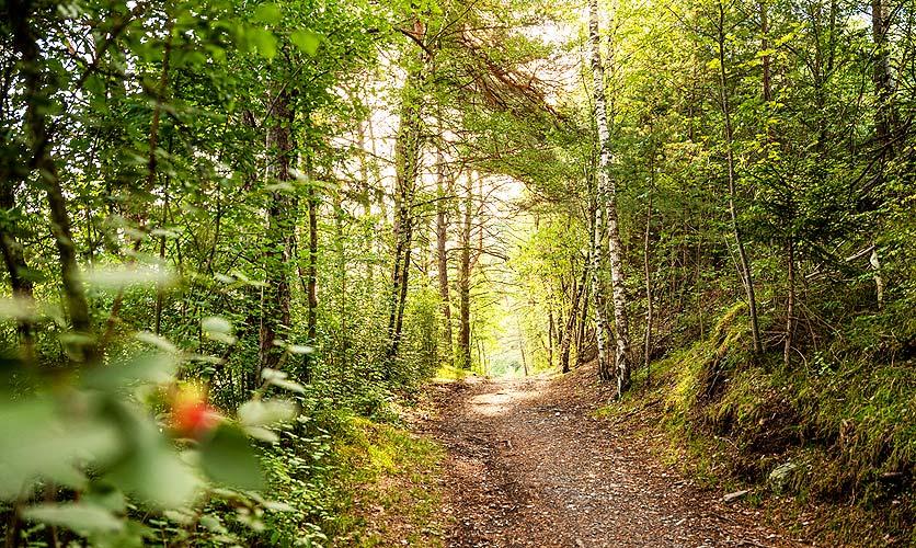 Der Pfynwald im Wallis ist ein geschützter, artenreicher Wald mit vielen Föhren.