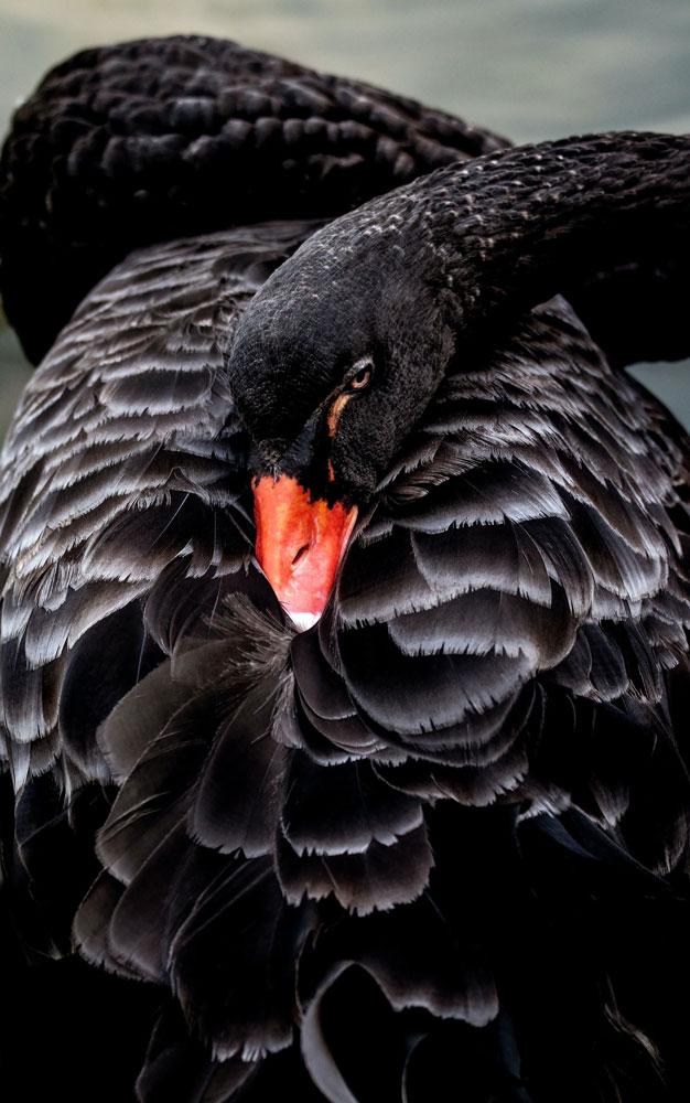 Ein schwarzer Schwan versteckt seinen Schnabel unter den Federn.