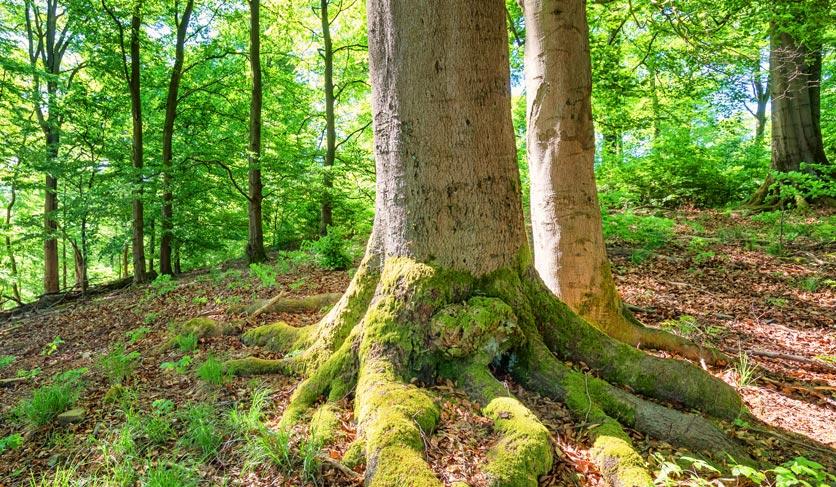 Im Wald: Eine Buche mit moosbewachsener Wurzel, dahinter kleinere Bäume mit frischen grünen Blättern, Frühling. Zeitlupe.