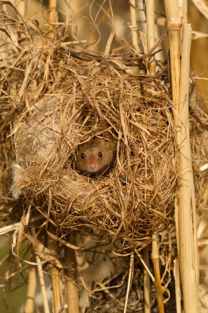Eine Zwergmaus schaut aus einem kugelförmigen Nest im Schilf. Zeitlupe