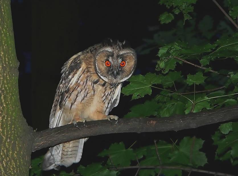 Eine Waldohreule bei Nacht. Die orangeroten Augen leuchten. Zeitlupe.
