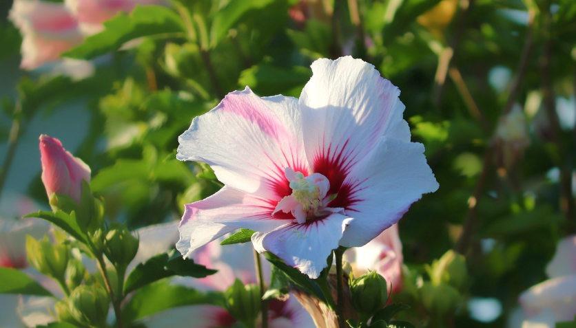 Eine Hibiscusblüte wird von der Sonne angestrahlt. Zeitlupe