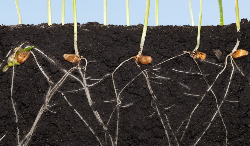 wachsendes Wurzelsystem von Weizenkeimlingen