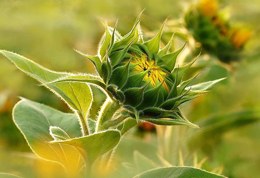Geschlossene Sonnenblume im Morgenlicht